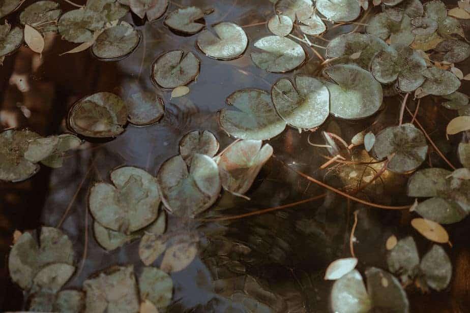 lily pads in pond at Villa bologna, Malta
